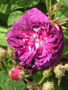 Hippolyte - Gallica Rose