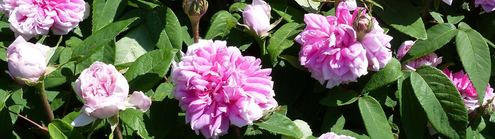 Trevor White Roses