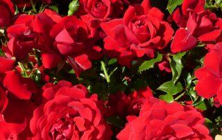 A Dozen Red Roses Valentines Inspiration
