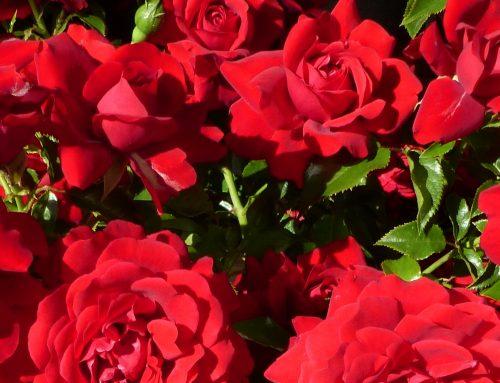 A Dozen Red Roses – Valentines Gift Ideas
