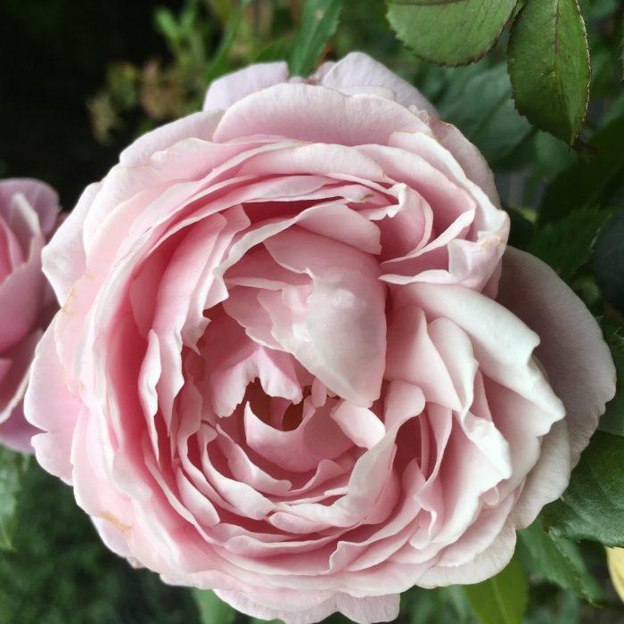 Soeur Emmanuel - Pink Delbard Rose
