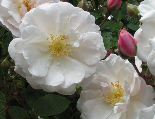 Rambling Rose: Adelaide d'Orleans
