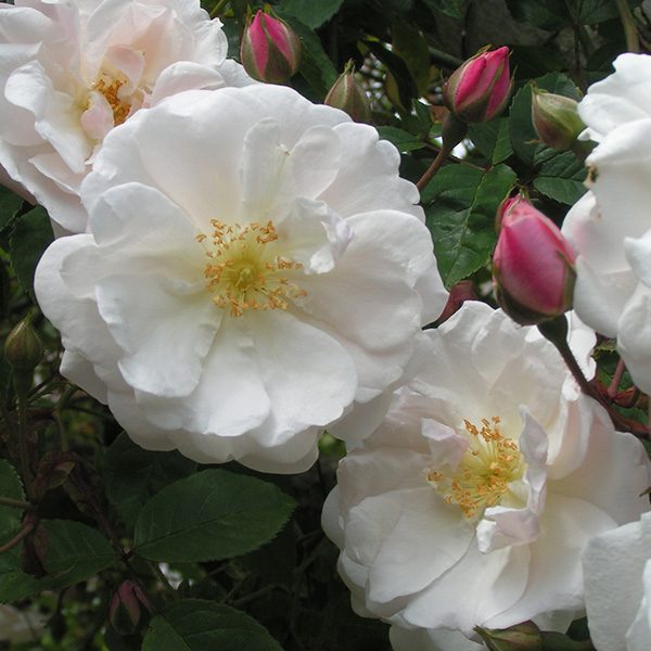 Adelaide d' Orleans - White Rambling Rose