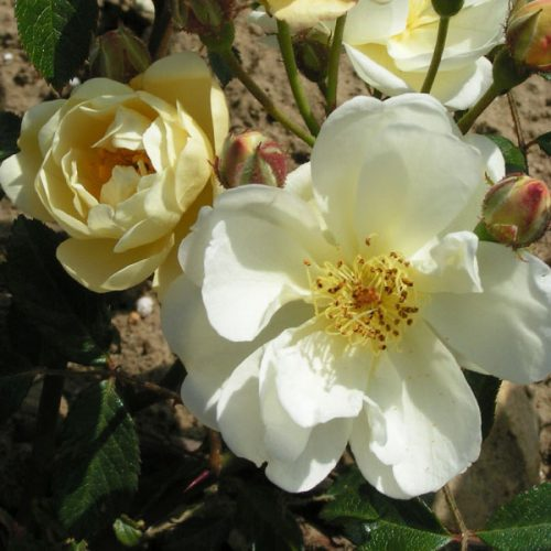 Aglaia - Yellow Rambling Rose