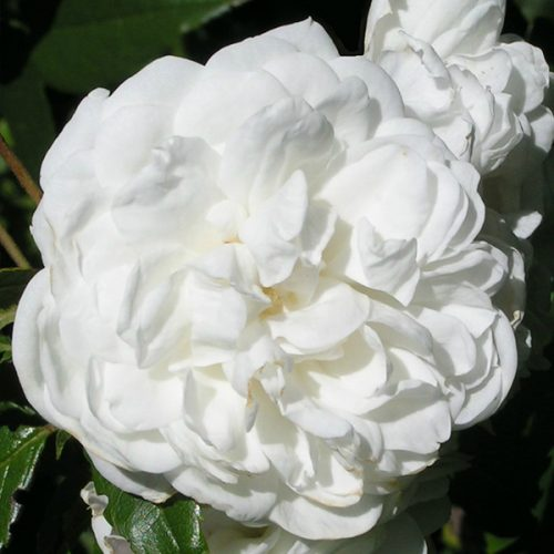 Aimee Vibert - White Climbing Rose