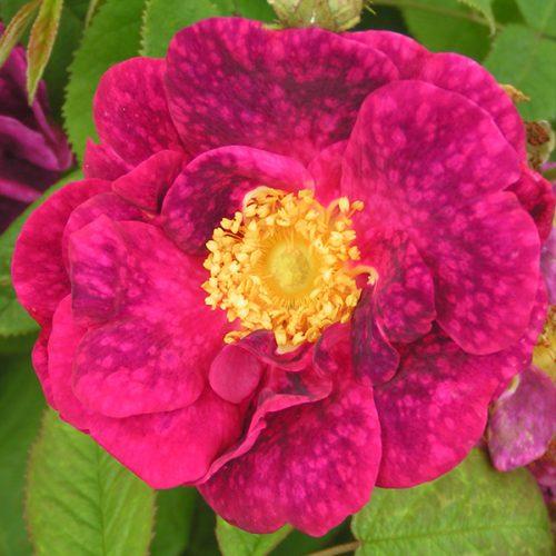 Alain Blanchard - Red Gallica Rose