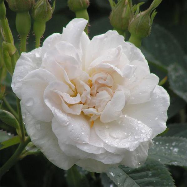 Alba Maxima - White Alba Rose