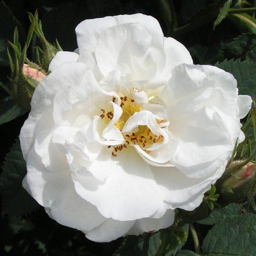 Alba Maxima. White Alba Rose