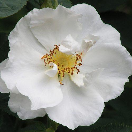 Alba Semi Plena - White Alba Rose