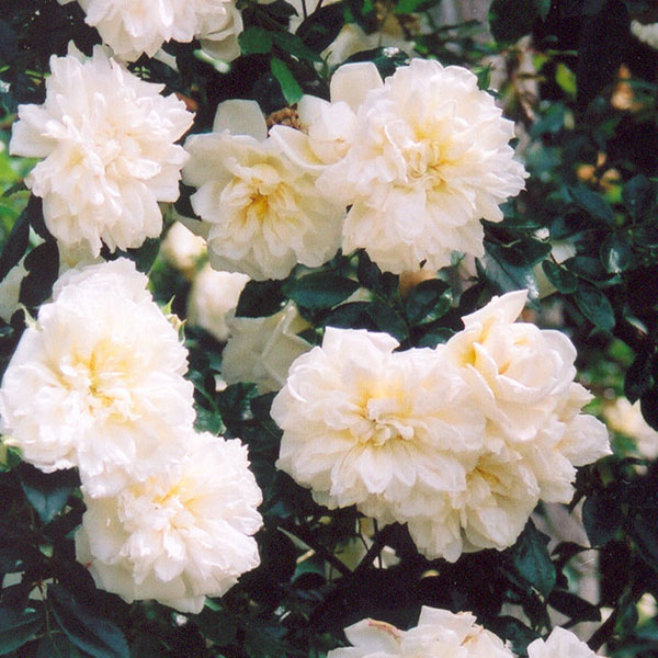 Alberic Barbier - Rambling Rose