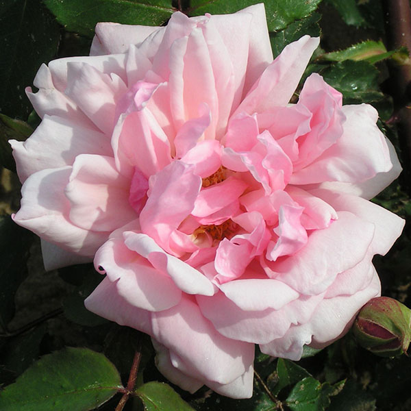 Albertine - Pink Rambling Rose