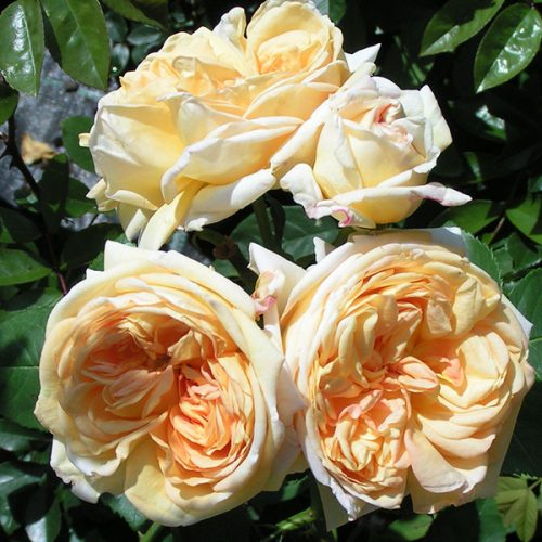 Alchymist - Yellow Climbing Rose