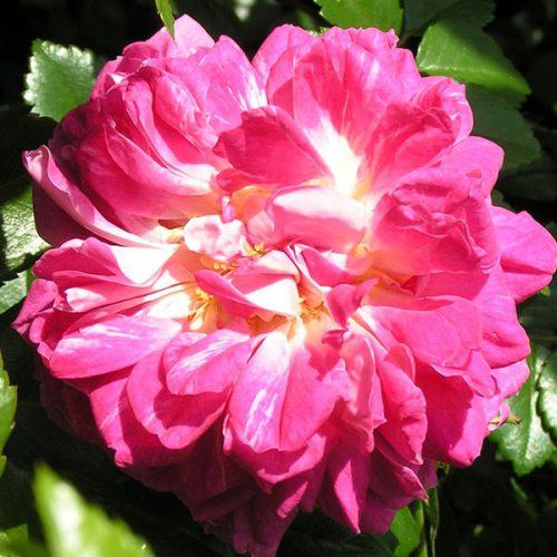 Alexandre Girault - Pink Rambling Rose