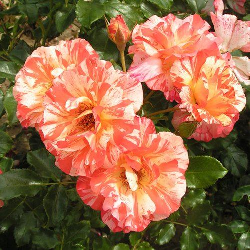 Alfred Sisley - Striped Delbard Rose