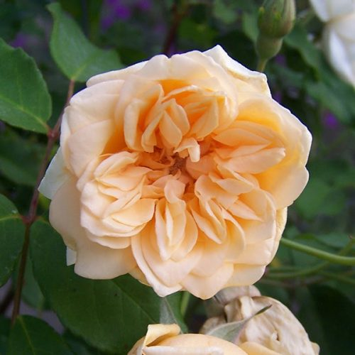 Alister Stella Grey - Yellow Climbing Rose