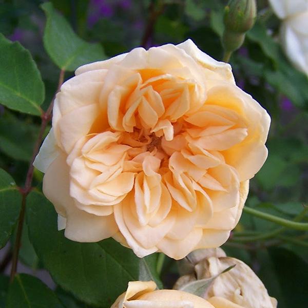 Alister Stella Grey - Yellow Climbing Rose