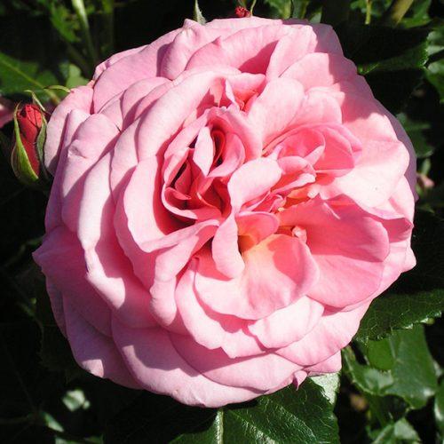 Aloha - Pink Climbing Rose