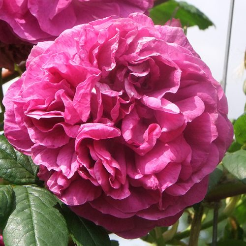 Amadis - Pink Climbing Rose