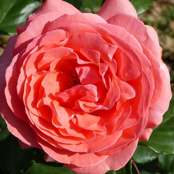 Amelia - Pink Renaissance Rose