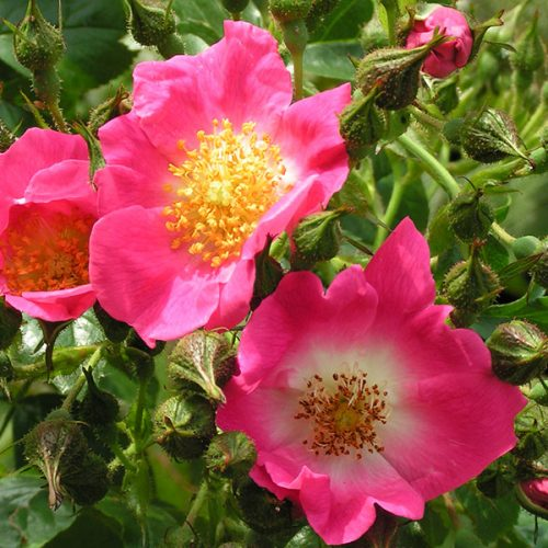 American Pillar - Pink Rambling Rose
