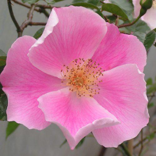Anemone Rose - Pink Climbing Rose