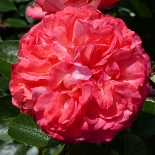 Antique - Red Climbing Rose