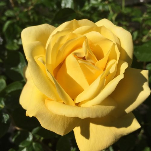 Arthur Bell - Yellow Climbing Rose