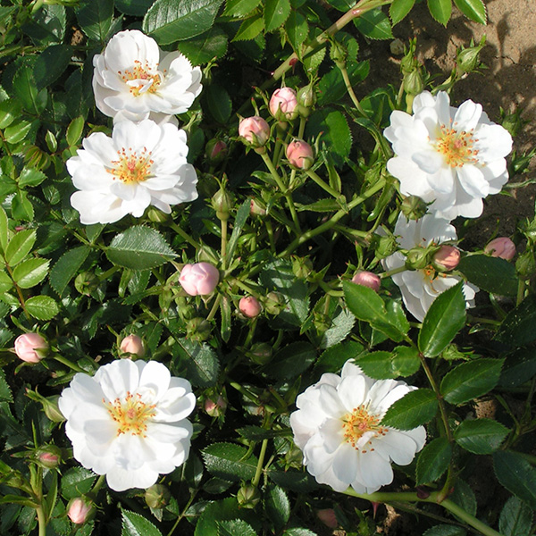 Avon - White Ground Cover Rose