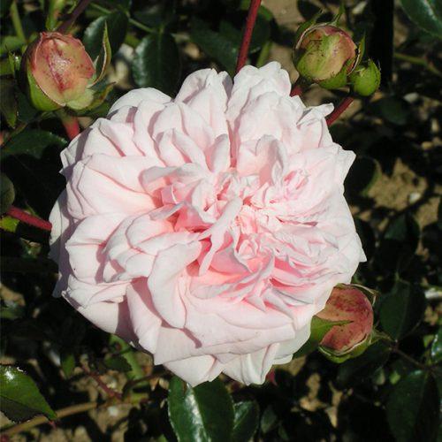 Awakening - Pink Climbing Rose