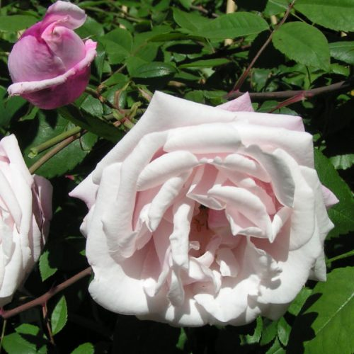Ayrshire Splendens - Pink Rambling Rose