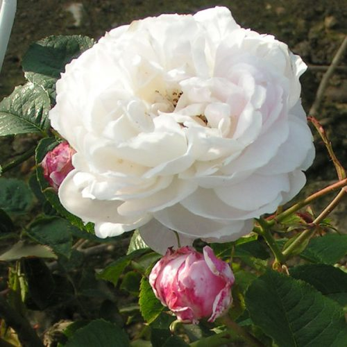 Baltimore Belle - Pink Rambling Rose