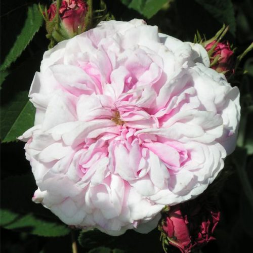 Bellard - Pink Alba Rose