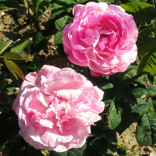 Belle Amour - Pink Alba Rose