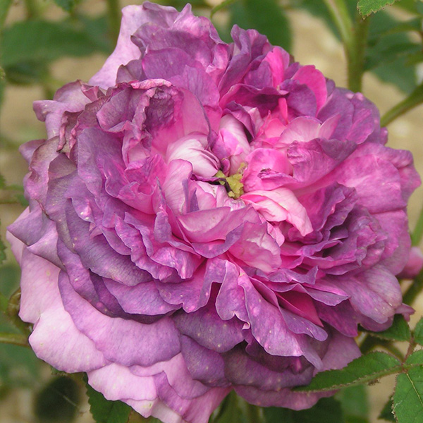Belle de Crecy - Lilac Gallica Rose