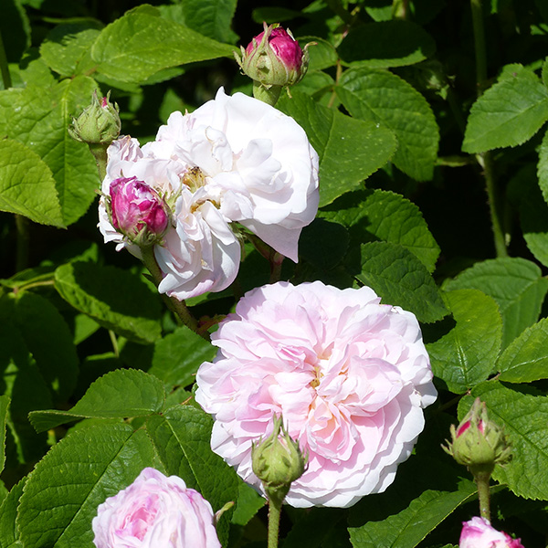 Belle Isis - Pink Gallica Rose
