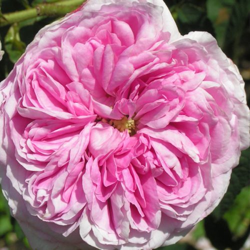 Belle sans flatterie - Pink Gallica Rose