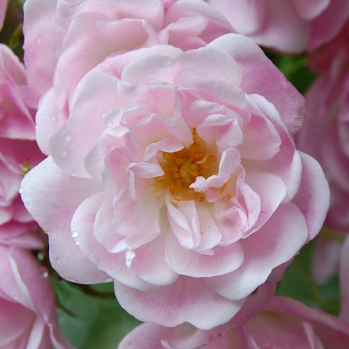 Belvedere - Pink Rambling Rose