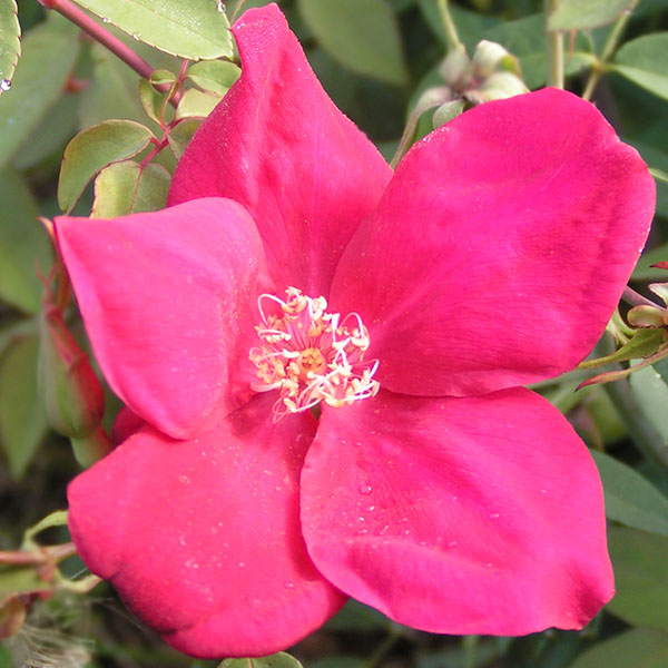 Bengal Crimson- Crimson China Rose, but also known as Bengal Beauty