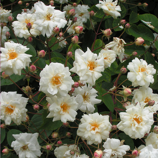Bennett's Seedling - White Rambling Rose