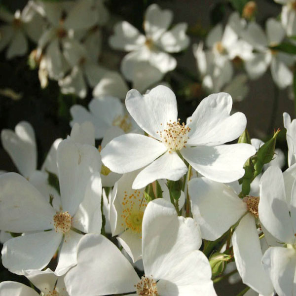 Betty Sheriff - White Rambling Rose