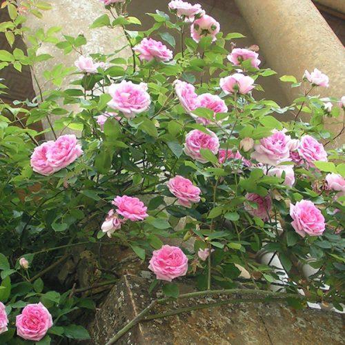 Blairii No.2 - Pink Climbing Rose