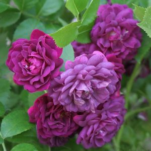 Bleu Magenta is a Purple Rambling Rose.