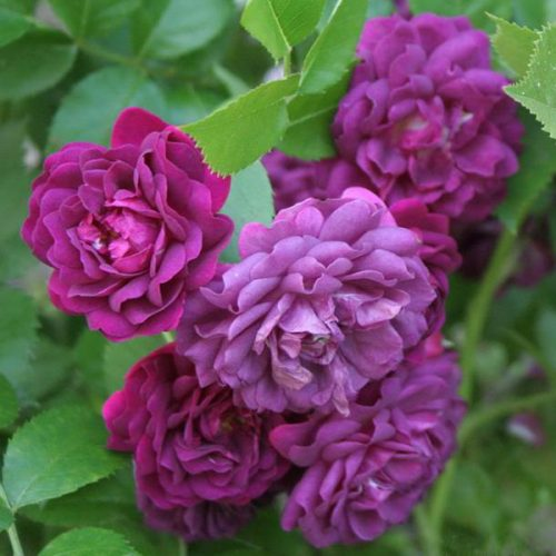 Bleu Magenta is a Purple Rambling Rose.