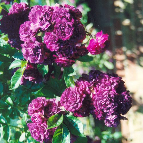 Bleu Magenta - Purple Rambling Rose
