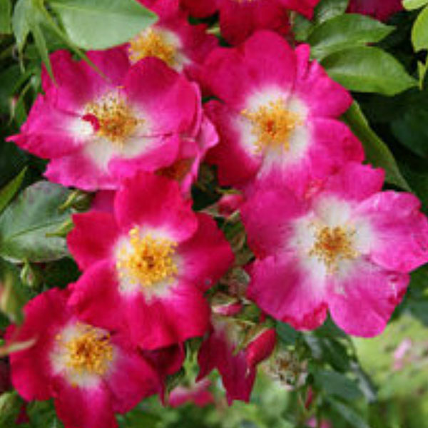 Bloomfield Courage - Red Rambling Rose