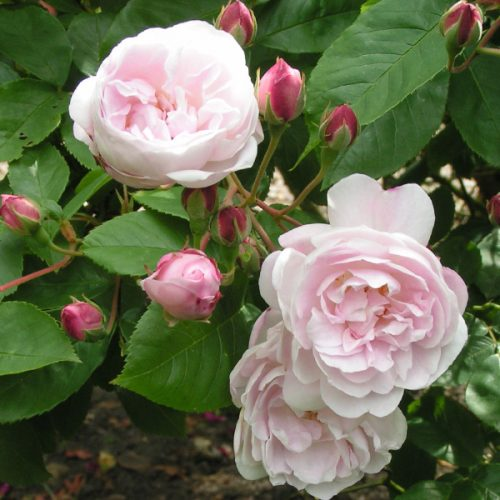 Blush Noisette - Pink Climbing Rose