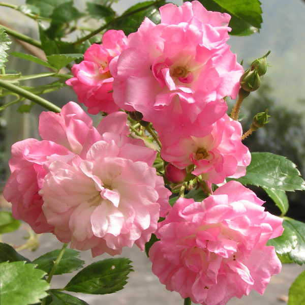 Blushing Lucy - Pink Rambling Rose