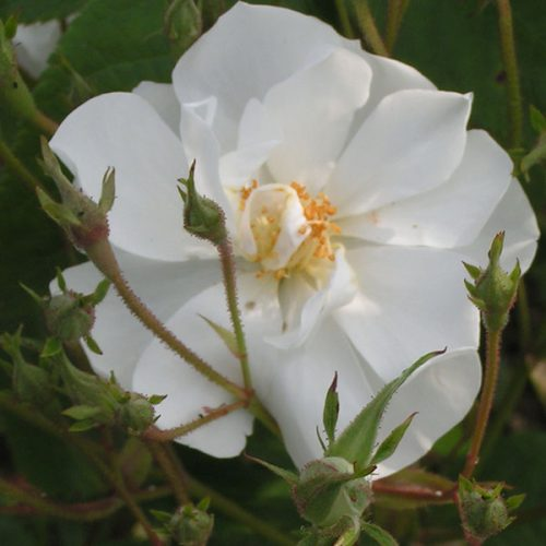 Bobbie James - White Rambling Rose