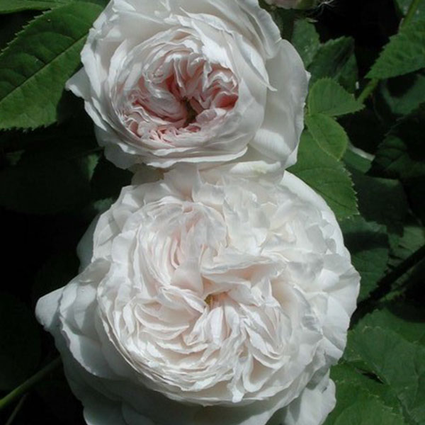 Botzaris - Damask Rose