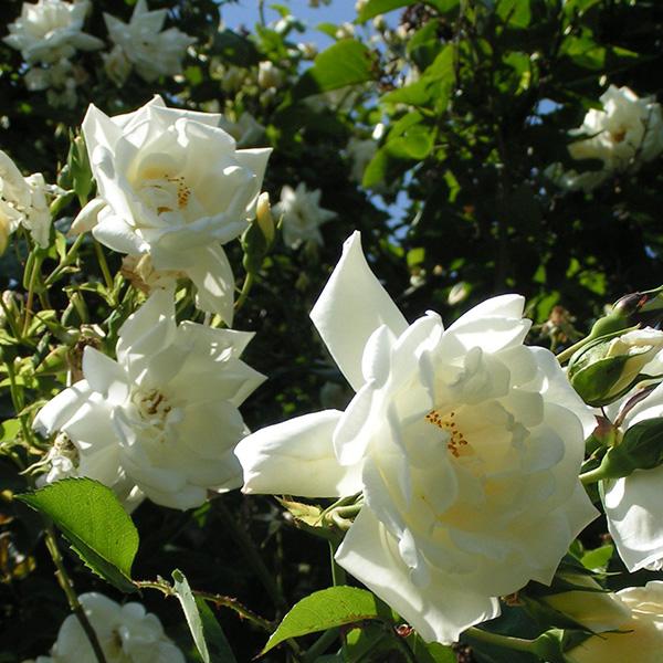 Bouquet D'or - Cream Climbing Rose